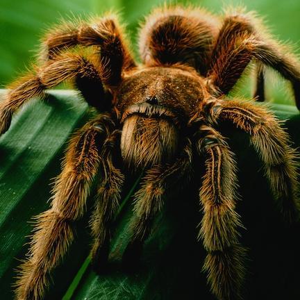 290216 tarantula p