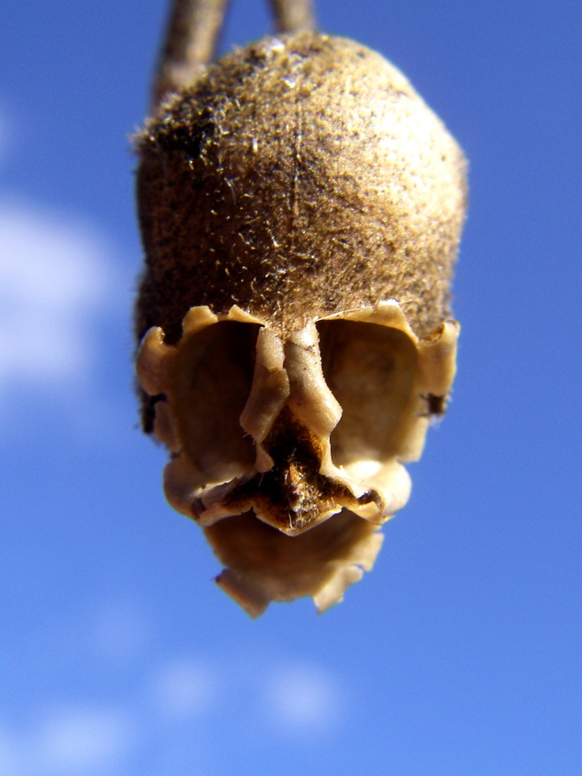 The tiny seedpods left behind by the snapdragon flower (Antirrhinum majus) have an uncanny skull-like appearance.