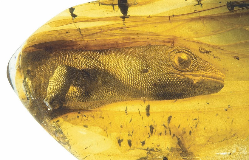 When it was revealed in 2006, this preserved lizard, named Yantarogekko balticus, was the oldest fossil gecko ever discovered.