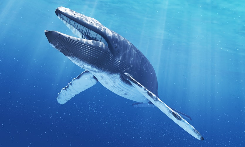 This mysterious call may come from a hybrid between a fin whale and a blue whale, pictured.