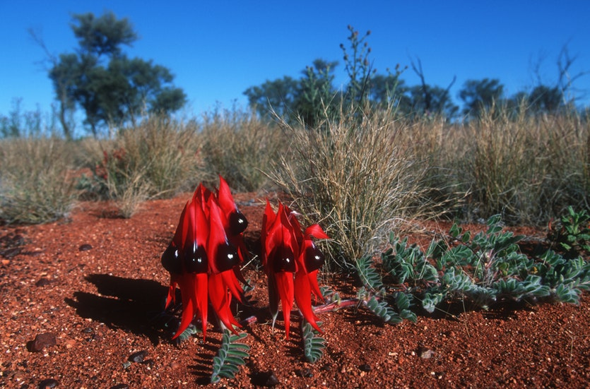 Sturt's Desert Pea (Swainsona formosa) is native to the dry regions of central and north-western Australia.