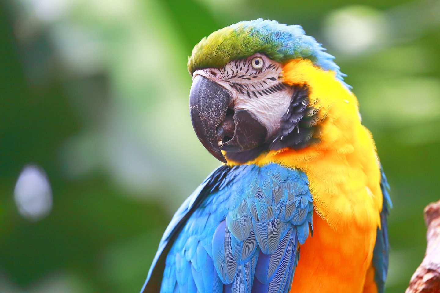 Flushed with emotion: a blushing blue-and-yellow macaw.