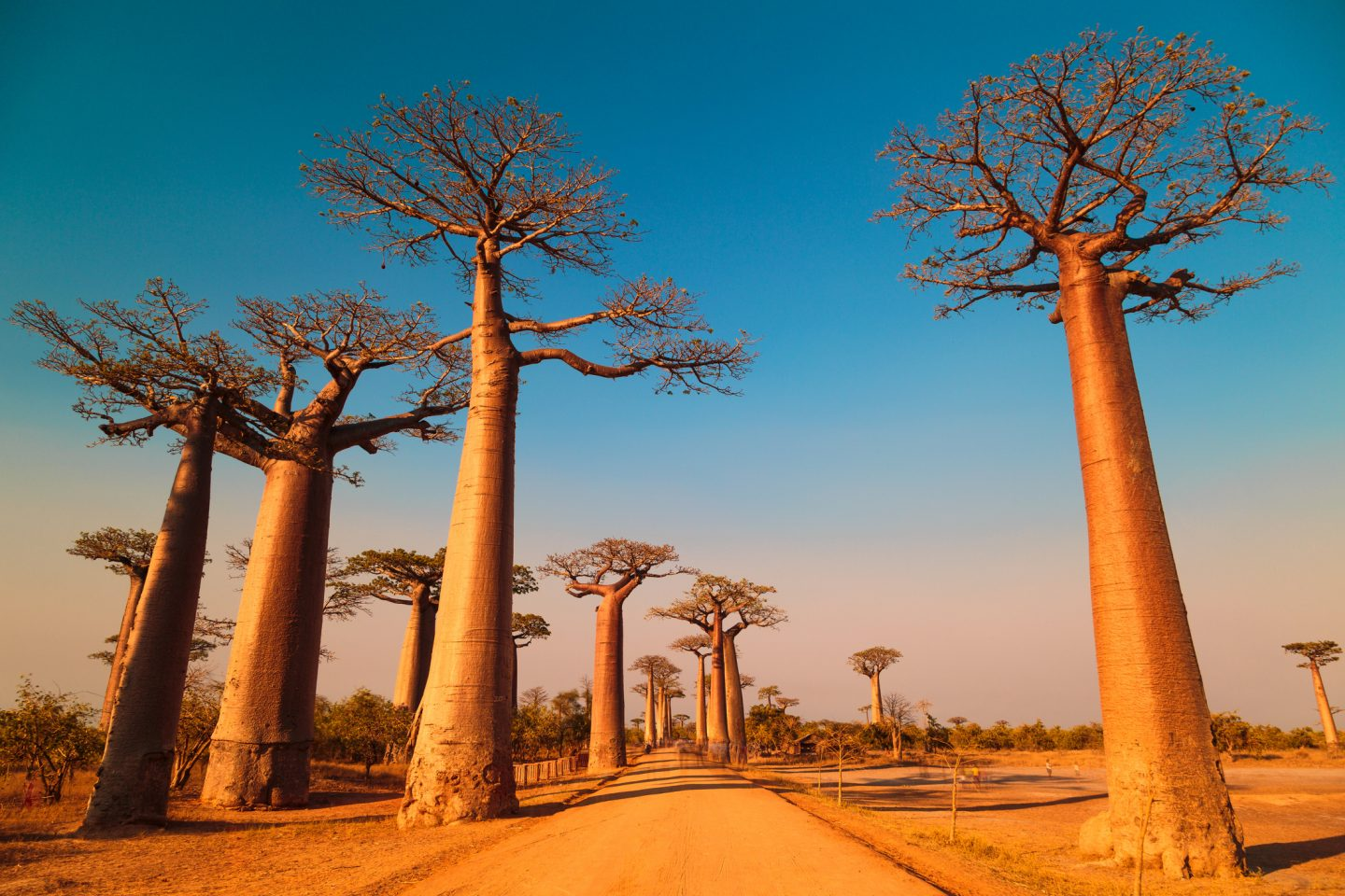 baobab trees have started dying.