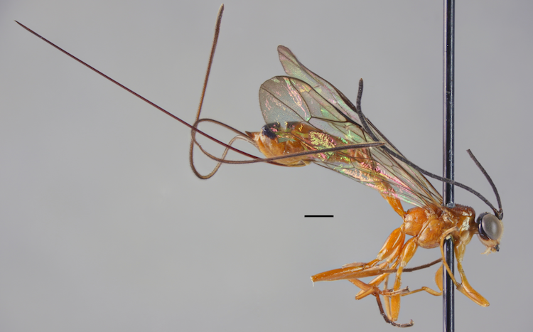 a wasp species new to science from Uganda.