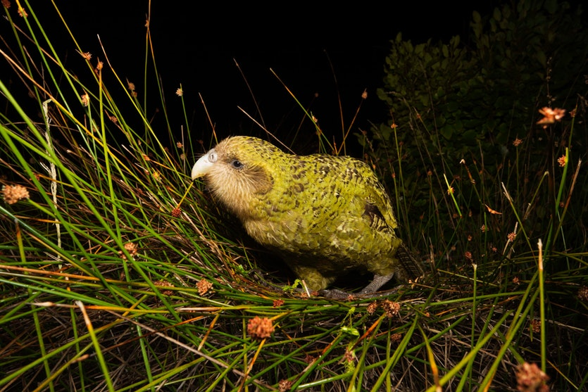 Kakapos' eyes are more forward-facing than those of other parrots, enabling the nocturnal birds to better move through the forest at night in search of fruits and seeds.