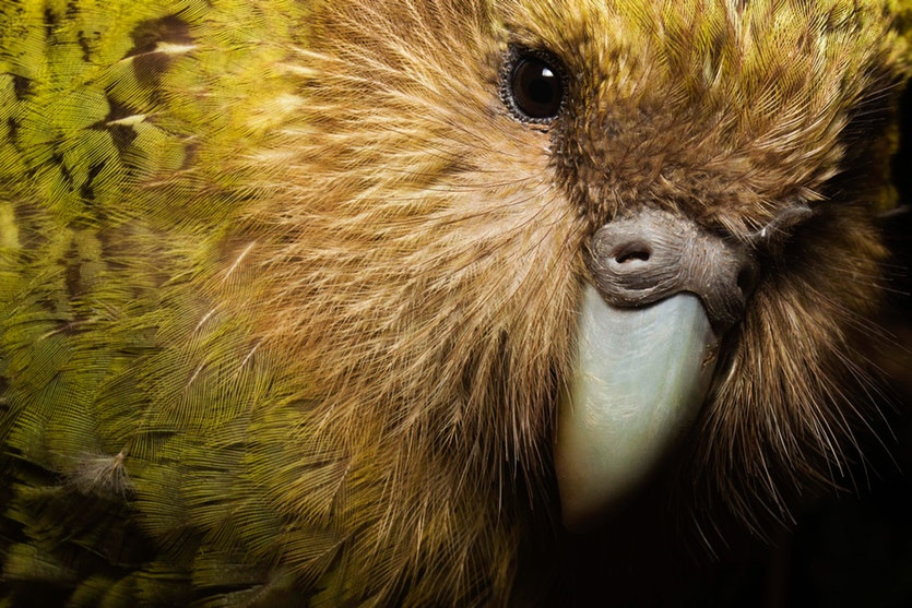 """This close-up shows why early settlers to New Zealand often called kakapos """"owl parrots."""""""