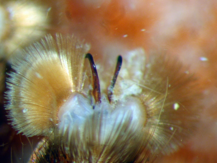 Claw tufts of a Barychelidae Idiommata spider.