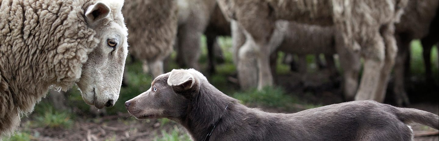 Backing: a kelpie will jump on the backs of sheep to control the flock.