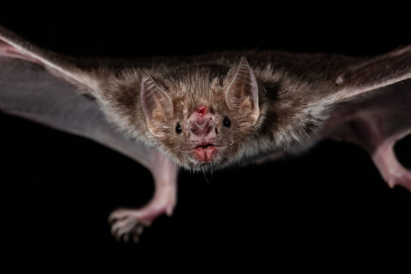 Vampire bats need bacteria to digest blood - Cosmos Magazine