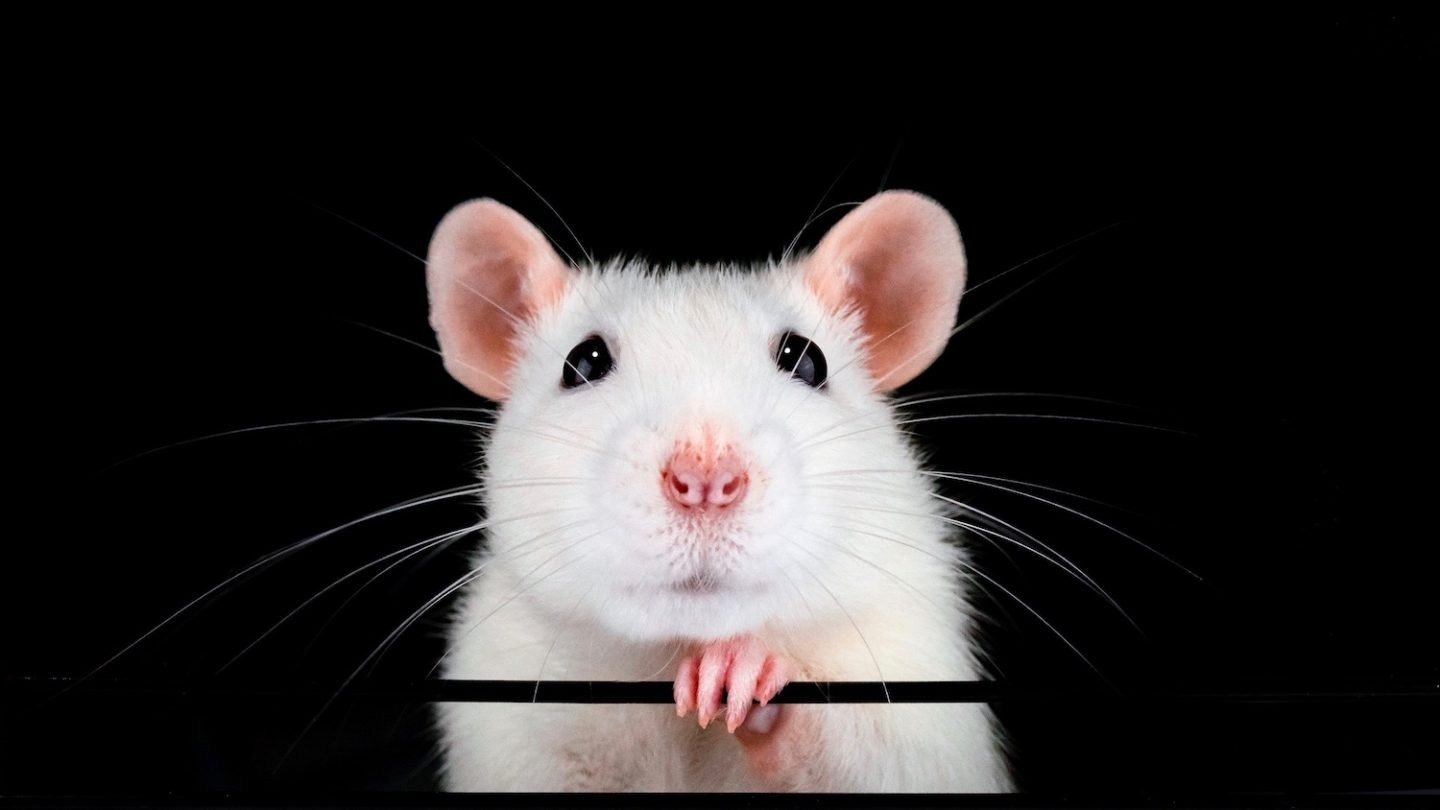 Rats on psychedelics show mixed results - Cosmos Magazine