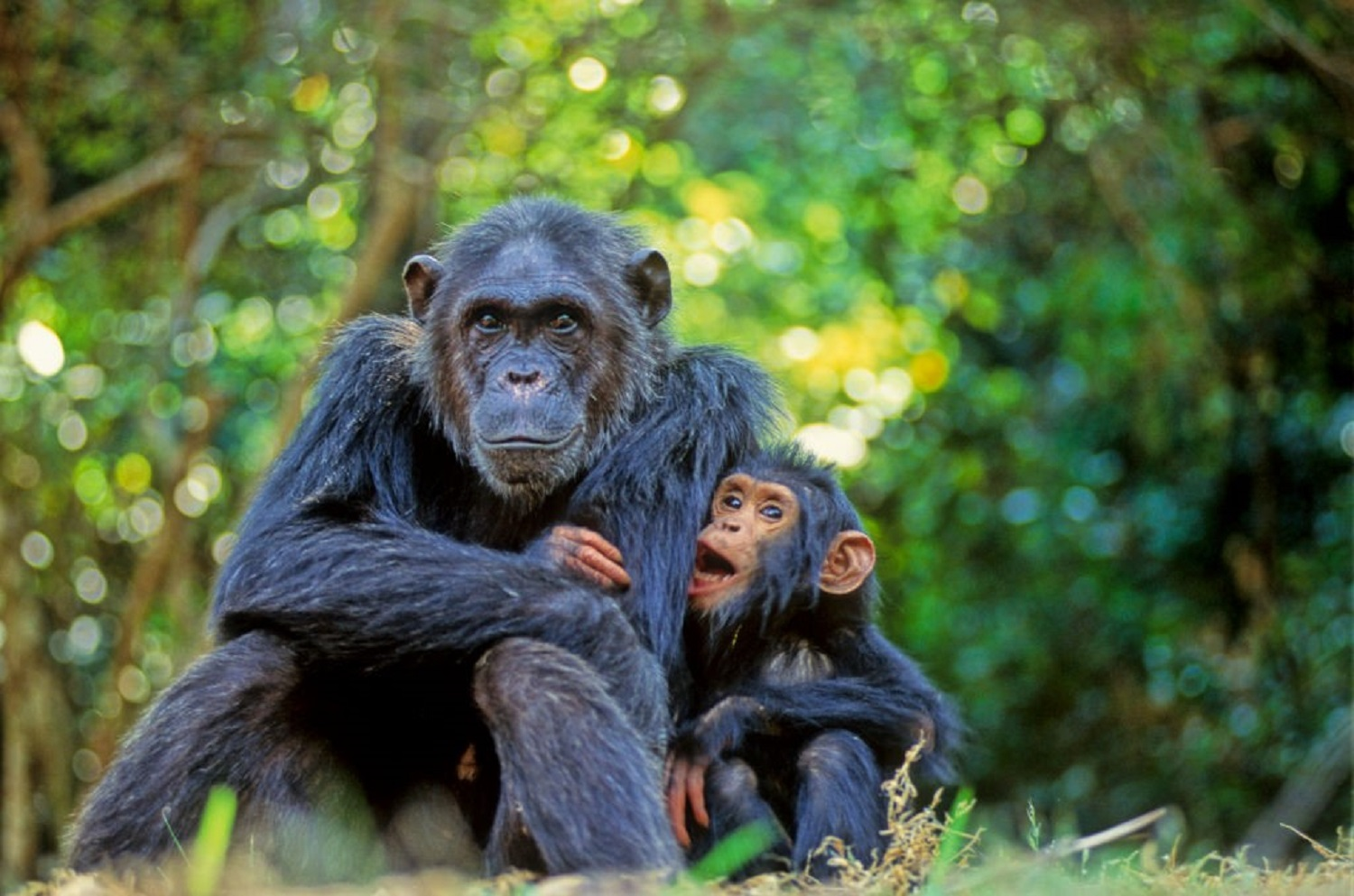 Female and juvenile chimps are more likely than adult males to eat crabs.