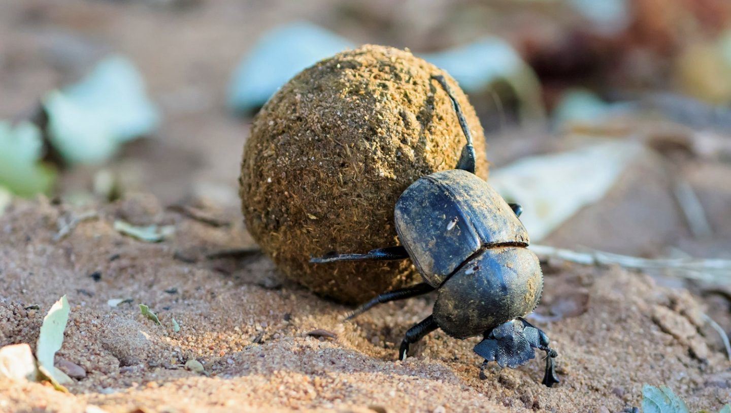 Dung beetles use the position of the sun and the direction of the wind to navigate.