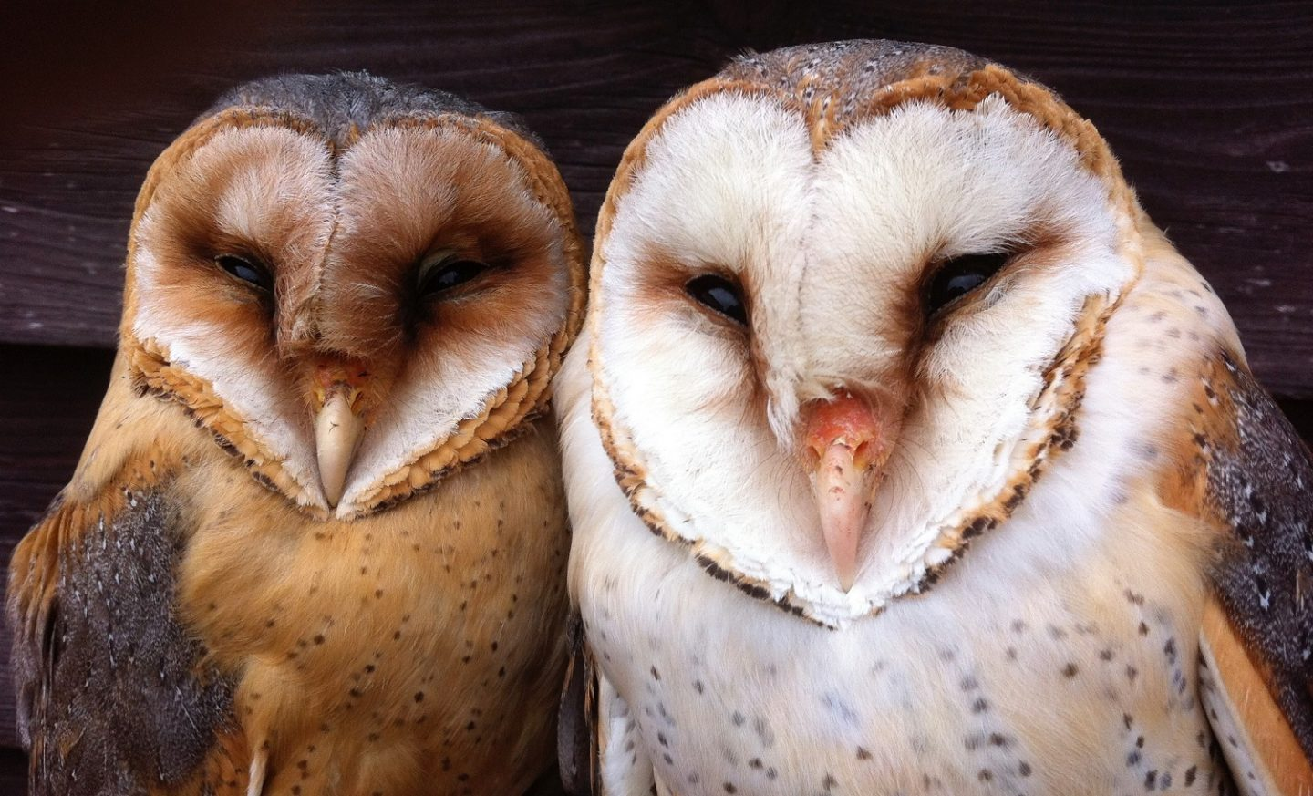 Beware white owls when it's a full moon - Cosmos Magazine