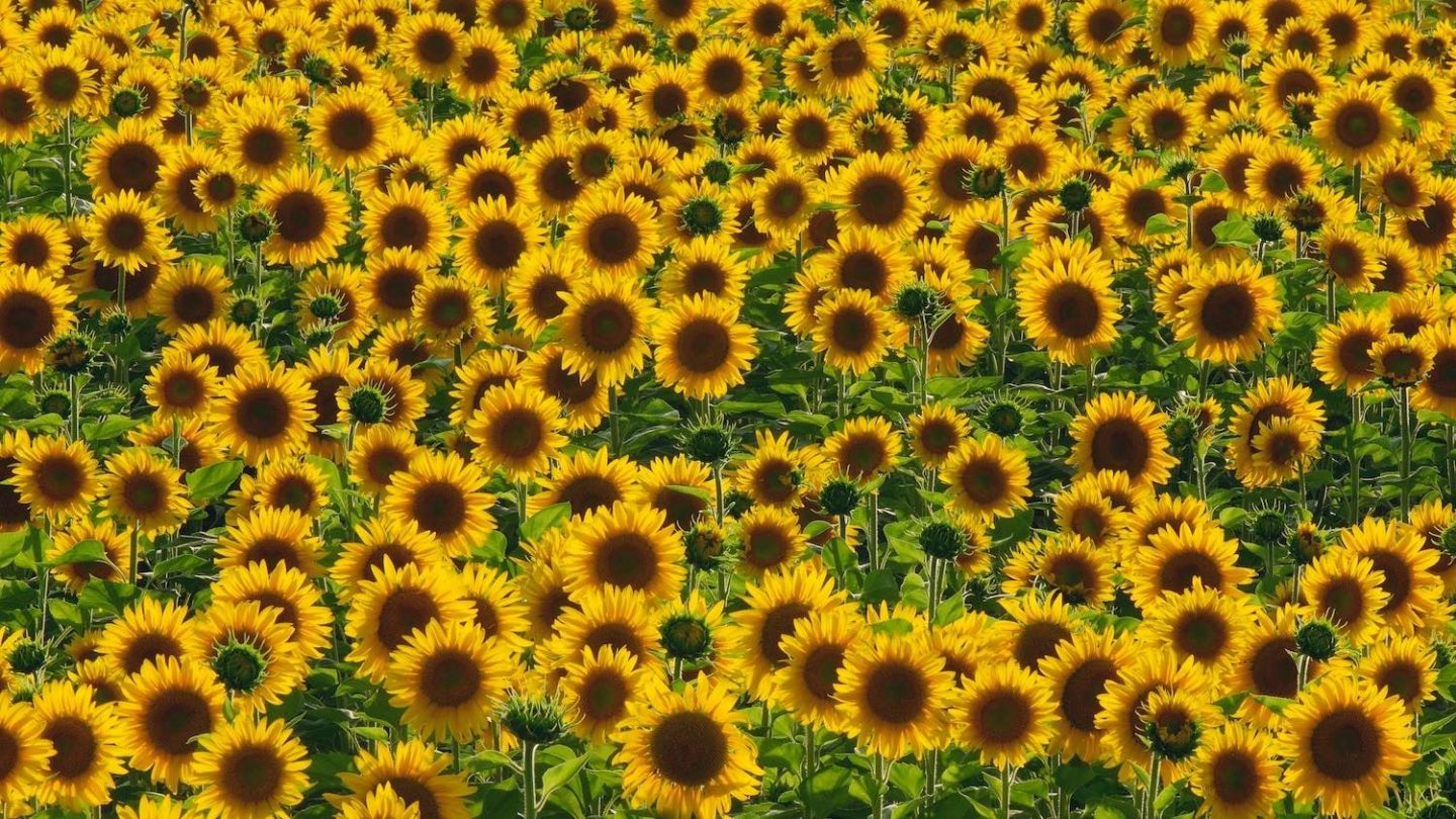 Taking a lead from nature: sunflowers have inspired a new artificial material.