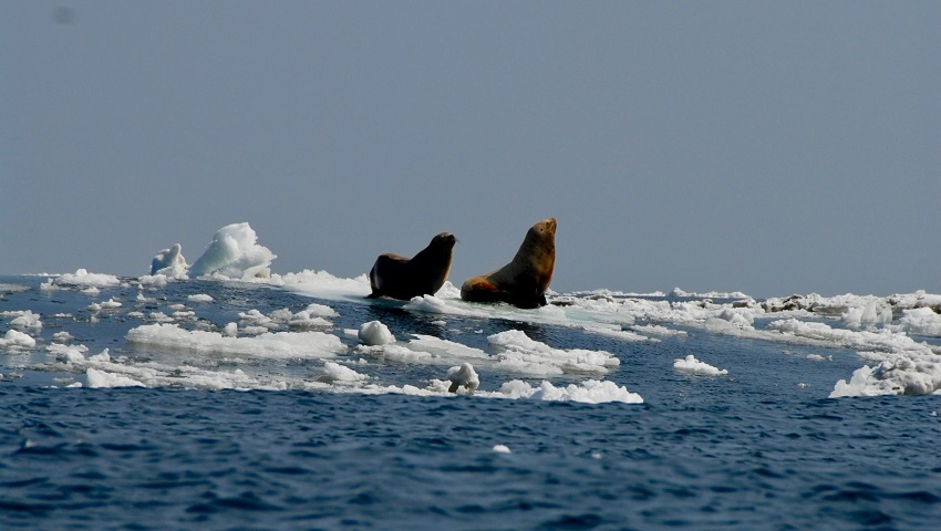 such as these Steller sea lions