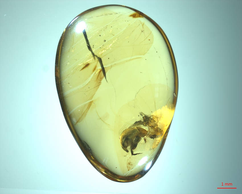 Amber piece showing the tumbling flower beetle Angimordella burmitina.