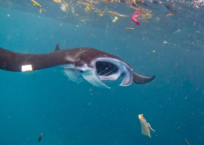 A manta ray in an all-too-common environment.
