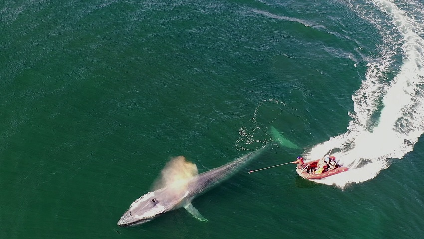 A blue whale being tagged by researchers off the coast of central California.