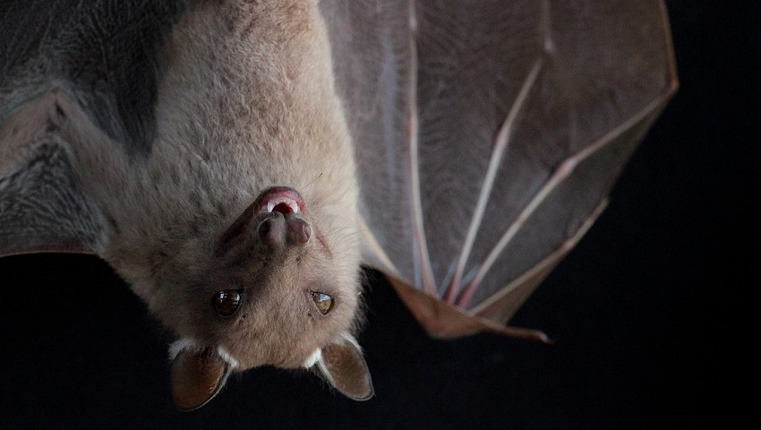 Evolving to fly may have had an unexpected effect on the likes of the Kenyan fruit bat (Epomophorus wahlbergi).