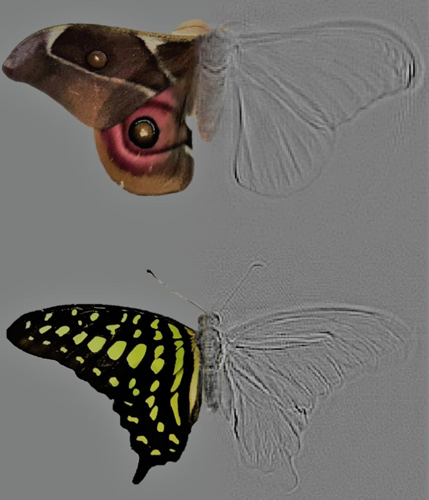 In this composite image of a moth and a butterfly the coloured sides show the target species while the grey scale is the resultant tomographic image. This allows researchers to measure how much sound is being reflected from certain body parts.
