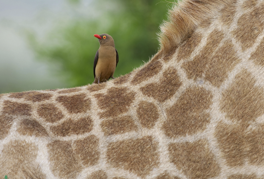 African oxpecker on a giraffe, an example of symbiosis