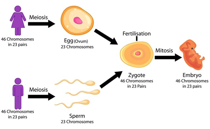 Meiosis is the process of cell division that creates 23 chromosomes in eggs and sperm.