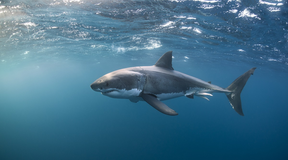 great white_shark_great white sharks