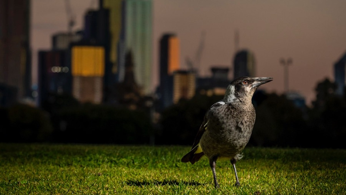 Magpie_light pollution