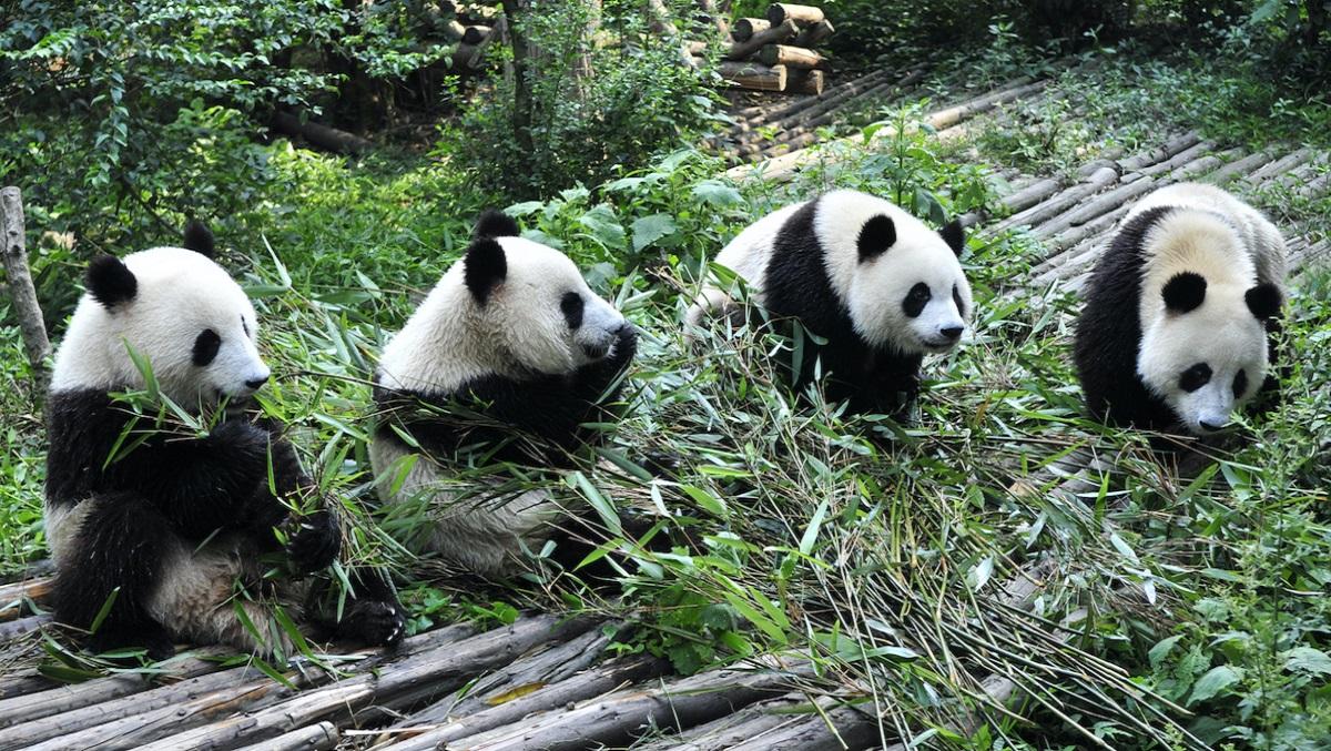 Pandas doing well, but predators at risk