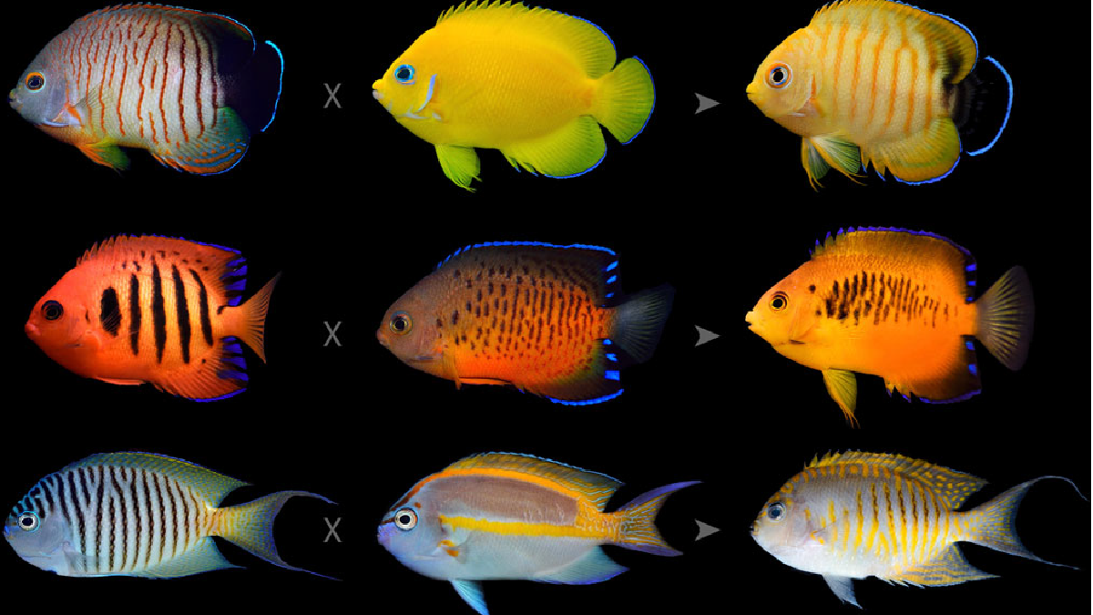 Angelfish are clever breeders