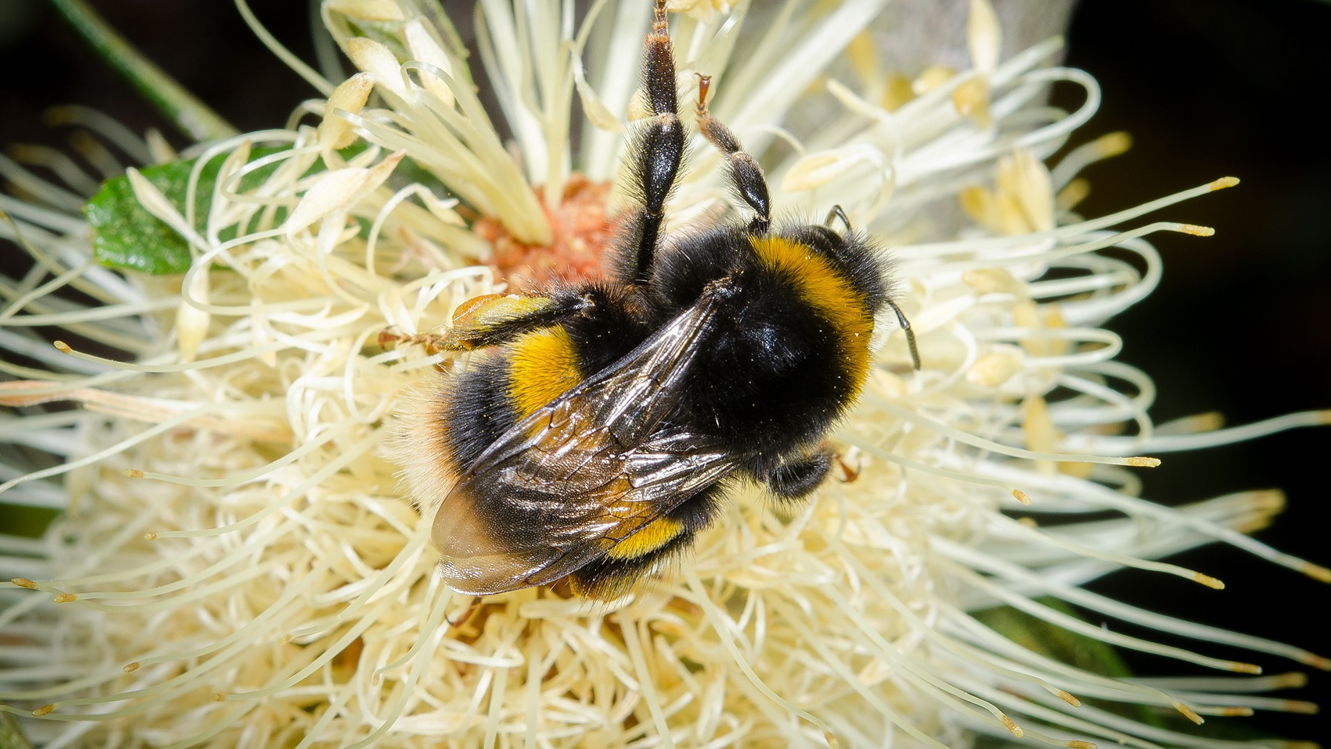 bees_non-native bees_insects