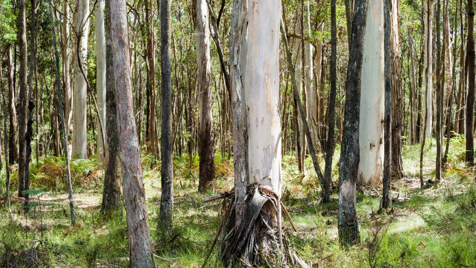 a native eucalypt forest