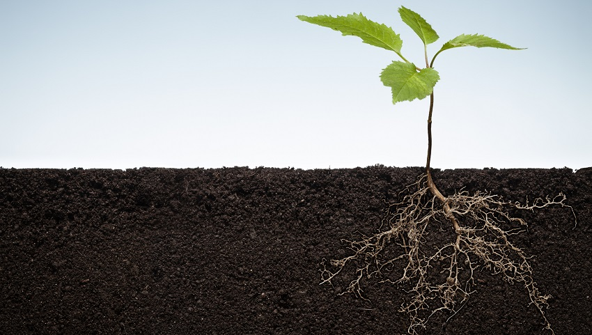 roots growing in compact soil are usually stunted