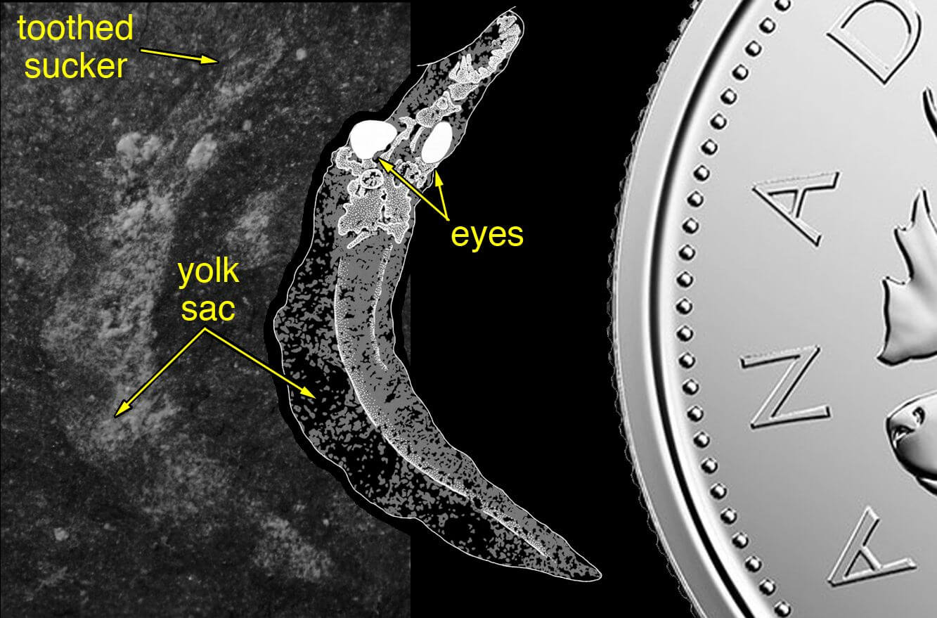 Image of the fossil lamprey larva with eyes