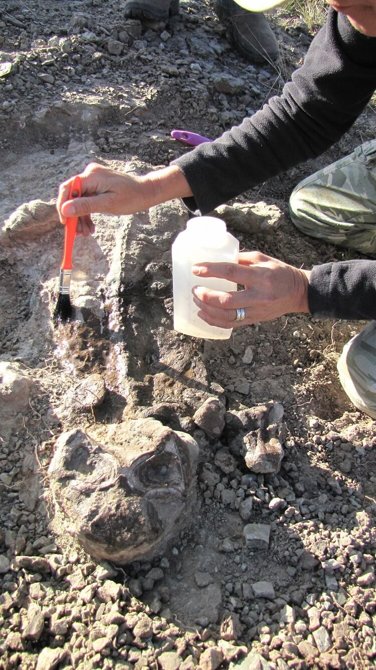 A fossil of the dicynodont Lystrosaurus, a mammal relative that survives the end-Permian mass extinction event, is collected during fieldwork in South Africa's Karoo Basin.