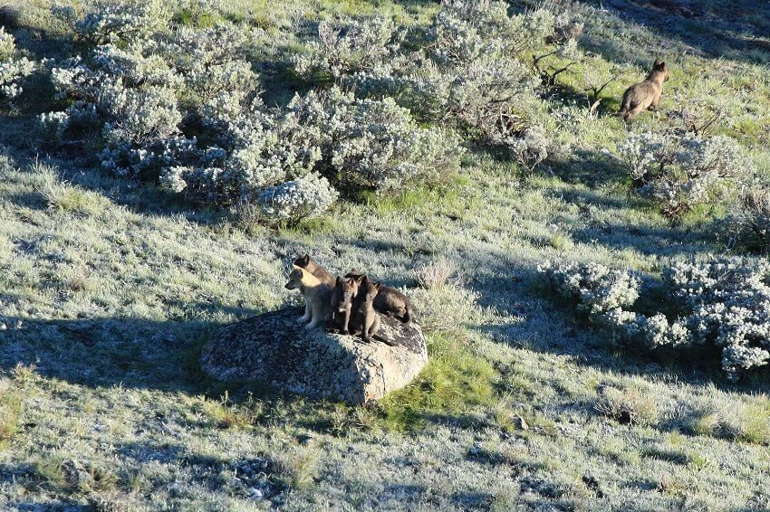 Pups from the 8-Mile wolf pack in Yellowstone National Park are shown gathered on an outcrop