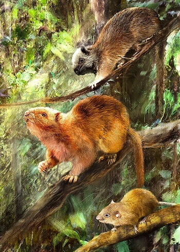 Illustration showing how the three new species of fossil cloud rats might have looked.