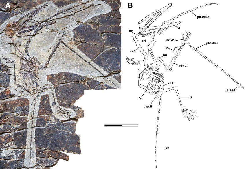 Fossil and line drawing of monkeydactyl.