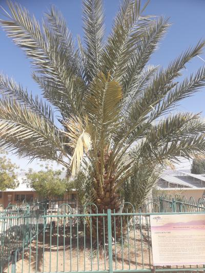 A palm with large fronds. A gate is around it. There is a sign on the gate, The words are indistinguishable.