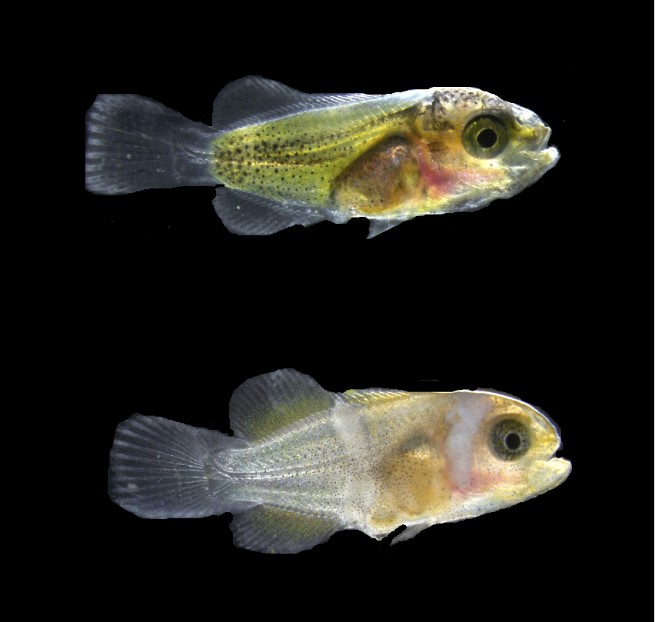 Two fish. The top fish has translucent tail and finds and body. It is yellow underneath its skin and the skin has black sport. The bottom fish is white at the back and pale orange at the front, with one white stripe behind the eye