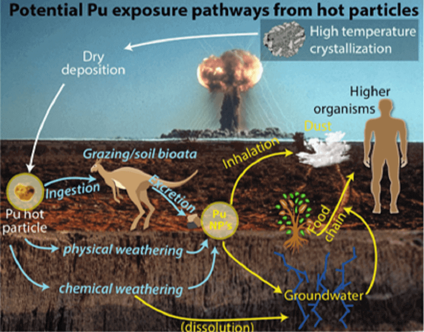Diagram showing exposure pathways for plutonium. Radioactive plutonium particles can get into the environment in a variety of different ways, including through soil groundwater, and direct inhalation by organisms. Once in the environment, they can travel through the food chain into other organisms.
