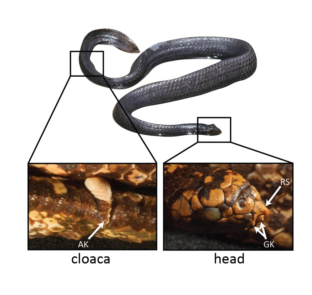 close ups of the snakes nose and cloaca