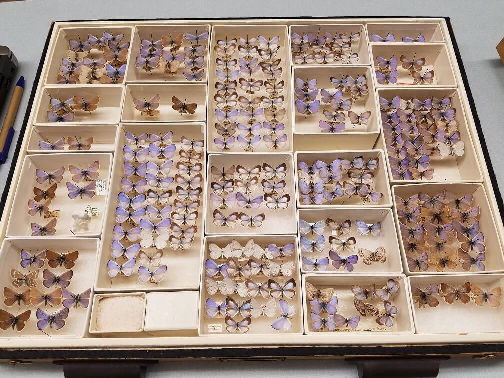 Drawer full of purple butter flies on pins
