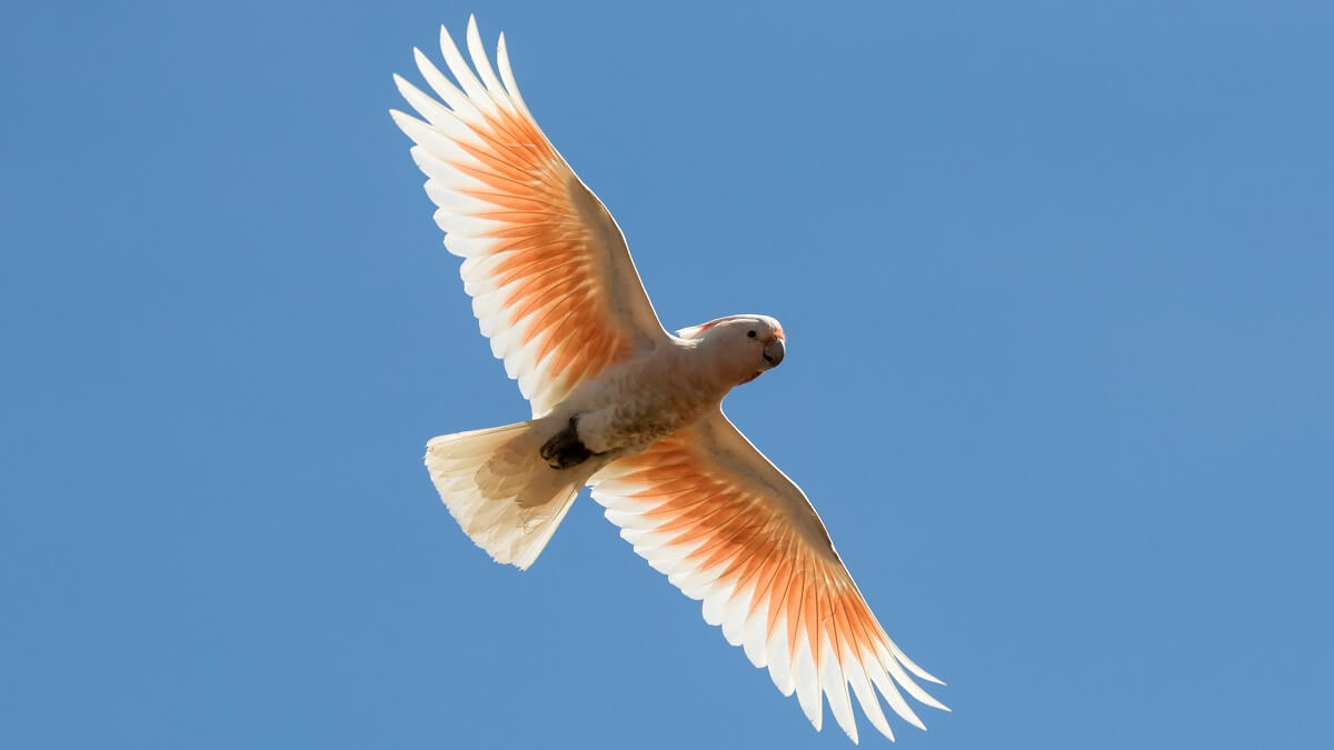 A white bird flying viewed from below. With pink feaths under its wings