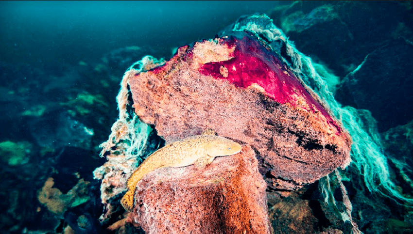 An orang fish lying on two purple formations. The top formation has wispy white threads coming off it