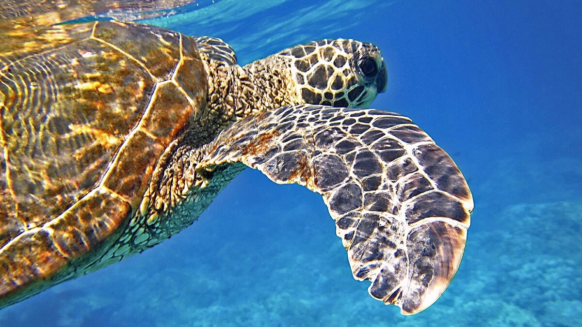 Baby sea turtles are eating too much plastic