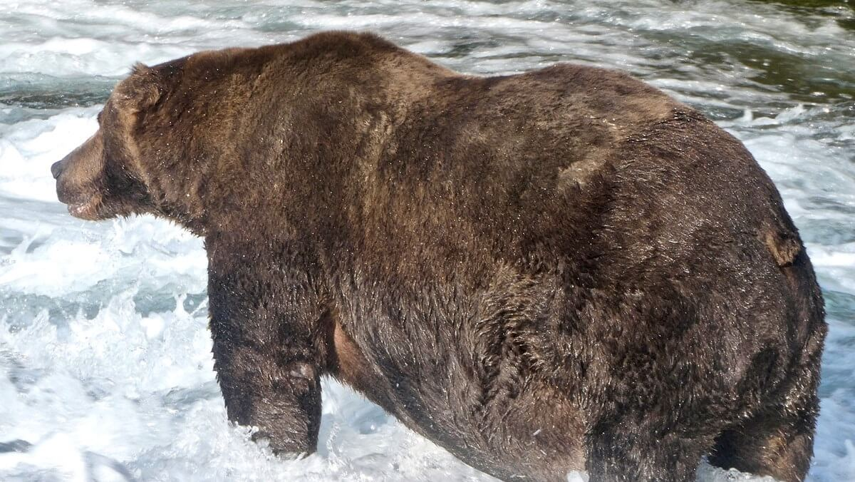 Fat bear week is here and it's full of chunky ursidae