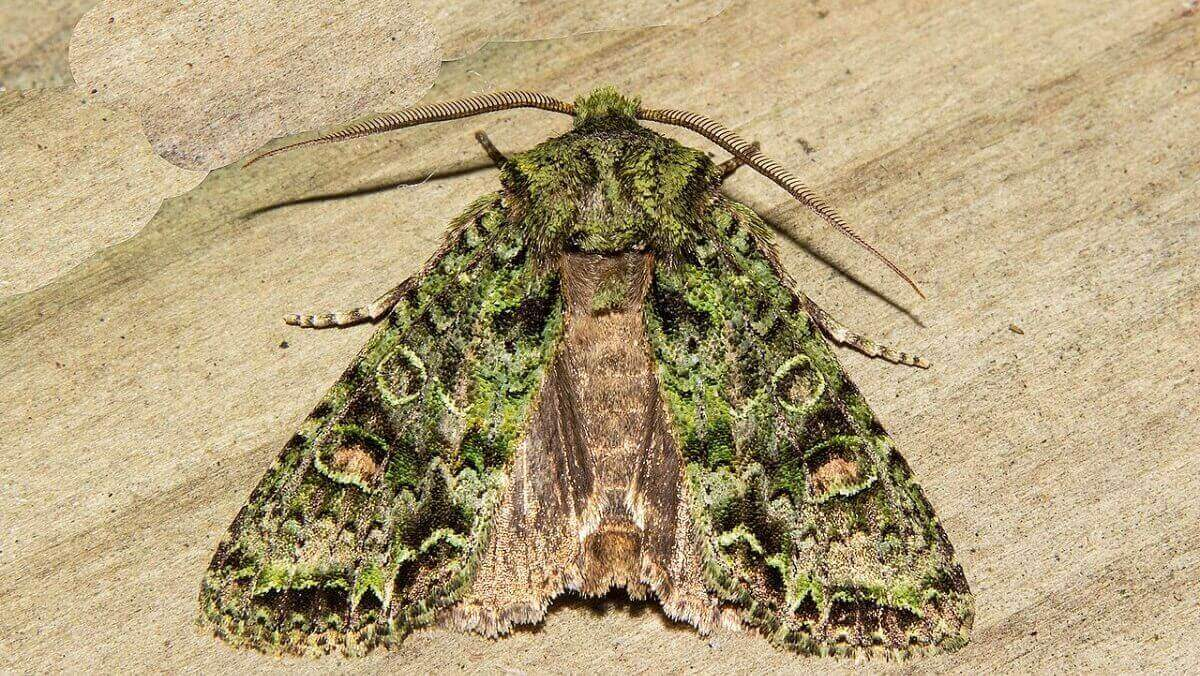 Shadowy world of nocturnal moth pollinators